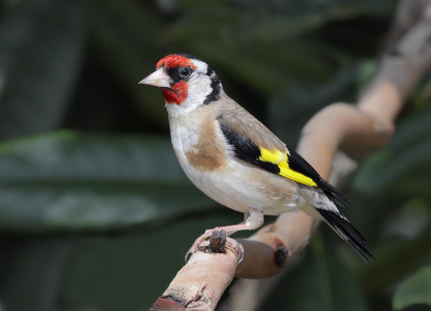 European Goldfinch (Image ID 29476)
