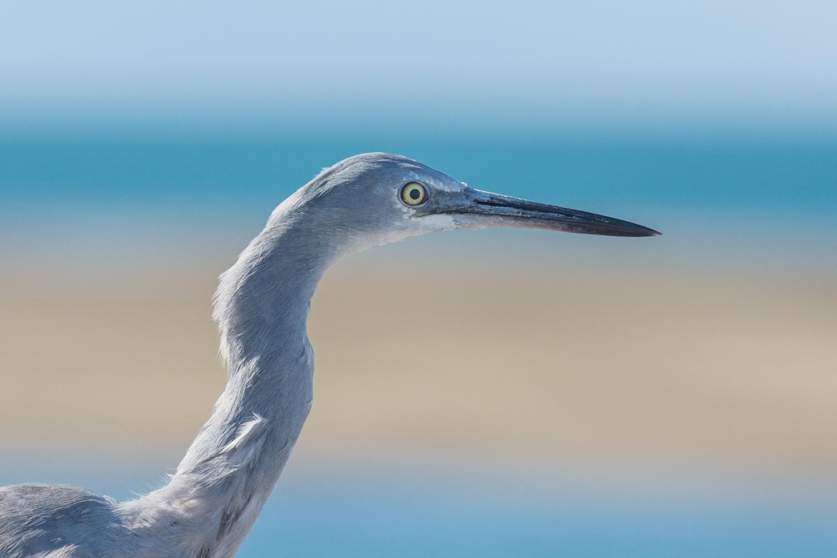 White-faced Heron (Image ID 29456)