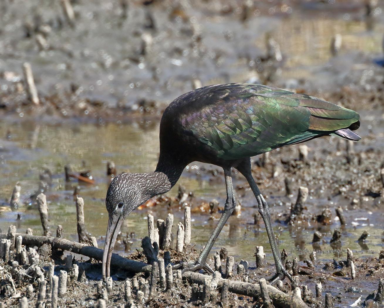 Glossy Ibis (Image ID 29385)