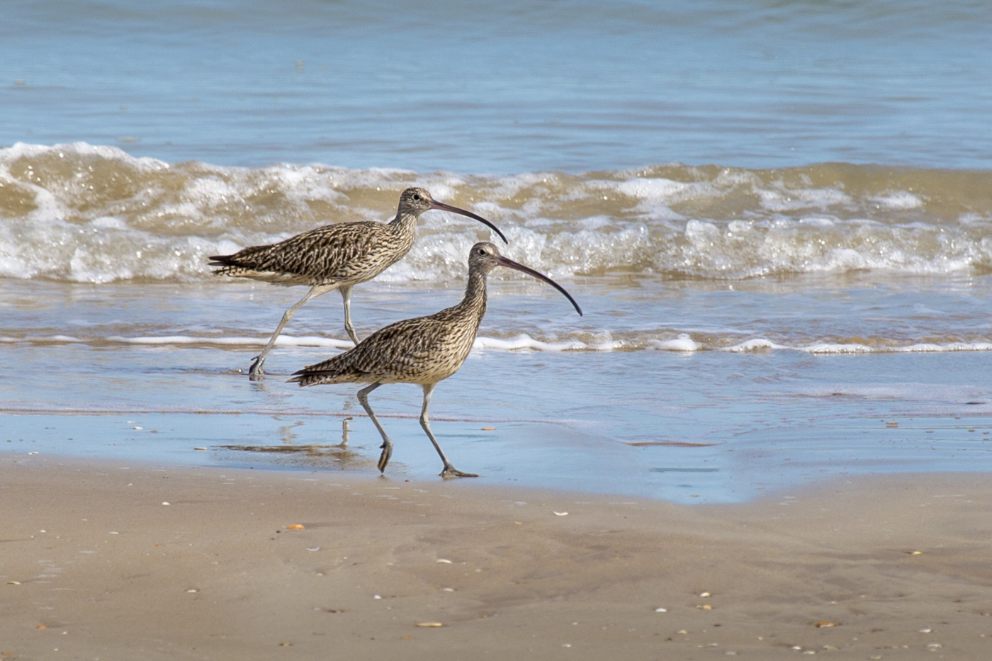 Eastern Curlew (Image ID 29727)