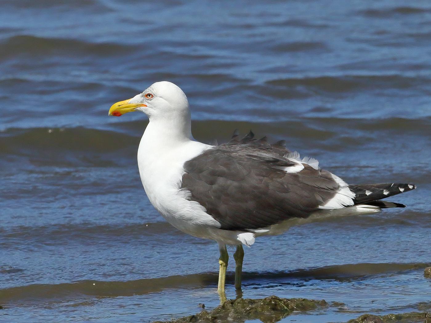 Kelp Gull (Image ID 29617)