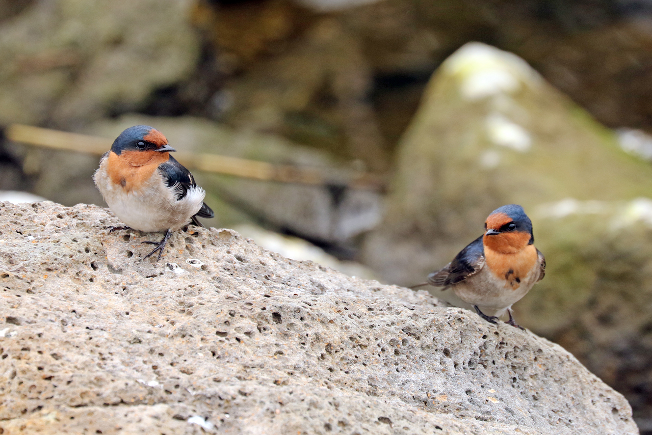 Welcome Swallow (Image ID 29418)