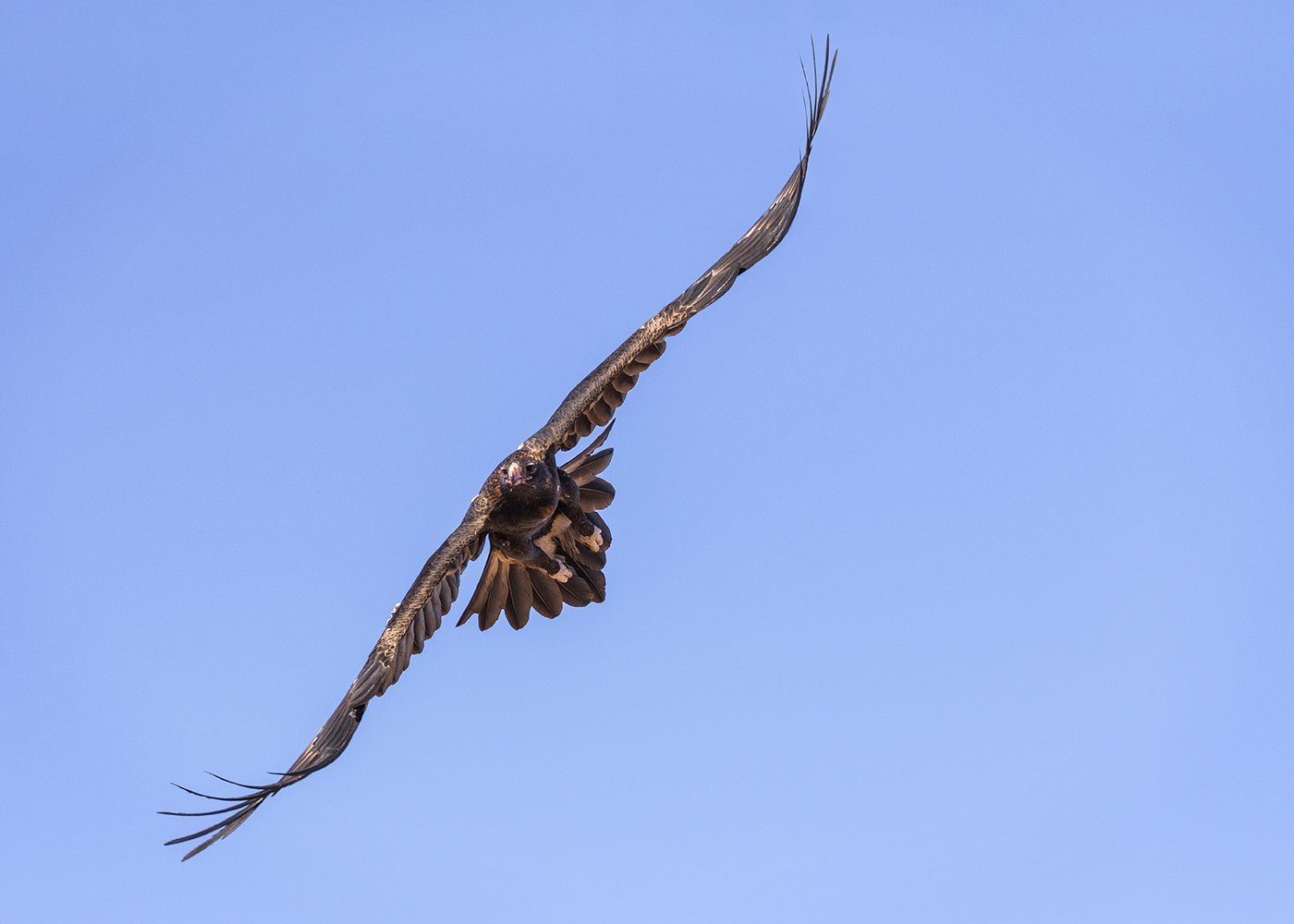 Wedge-tailed Eagle (Image ID 29350)