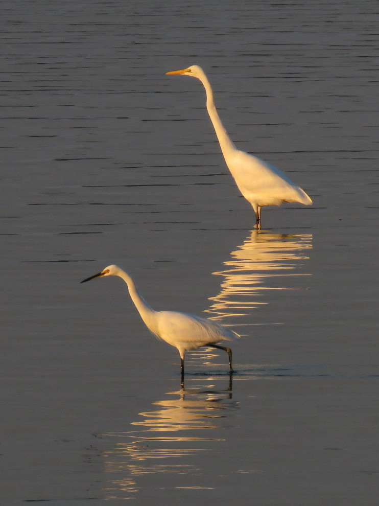 Great Egret, Little Egret (Image ID 29669)