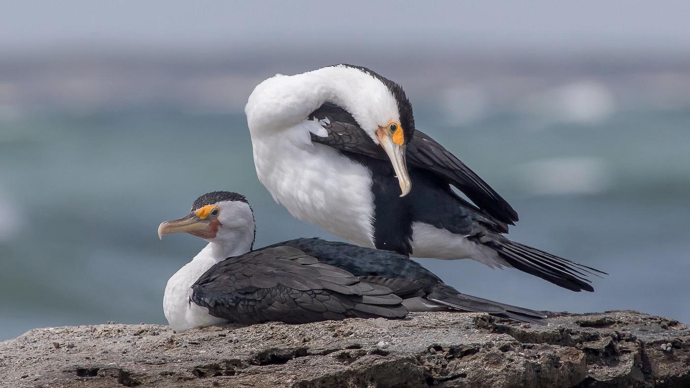 Great Pied Cormorant (Image ID 29439)