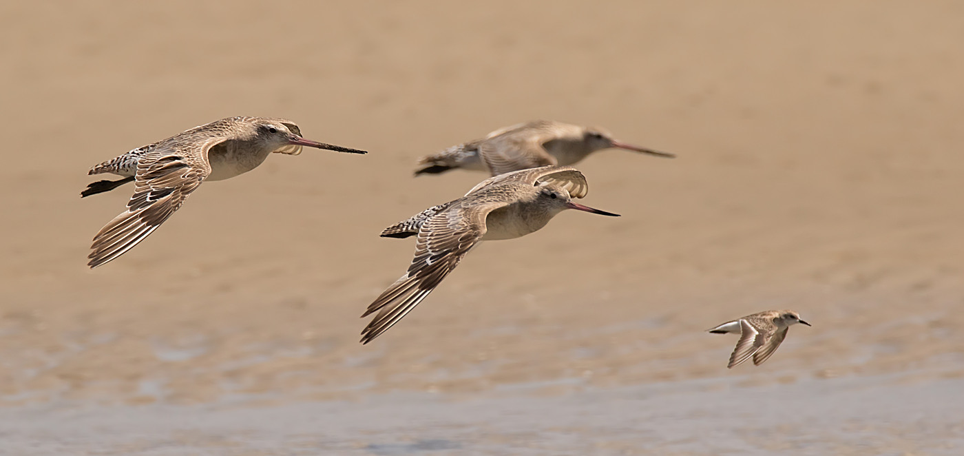 Bar-tailed Godwit, Red-necked Stint (Image ID 29490)