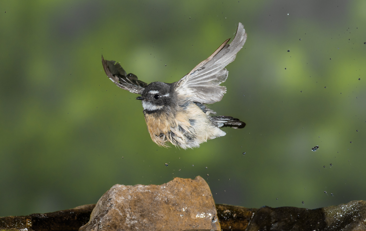 Grey Fantail complex (Image ID 29761)
