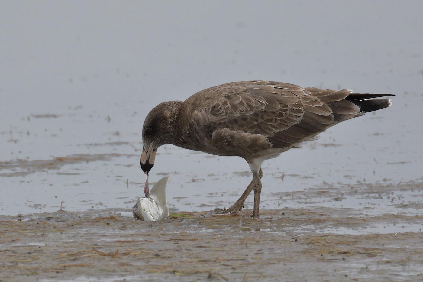 Pacific Gull (Image ID 29430)