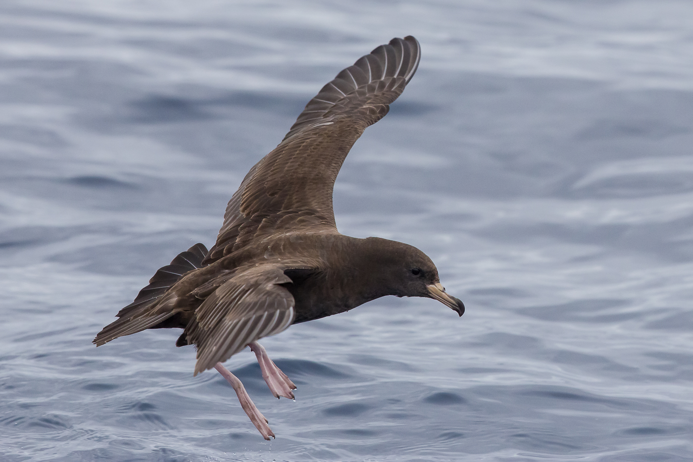 Flesh-footed Shearwater (Image ID 29767)