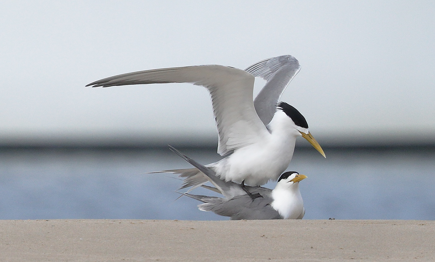 Crested Tern (Image ID 29378)