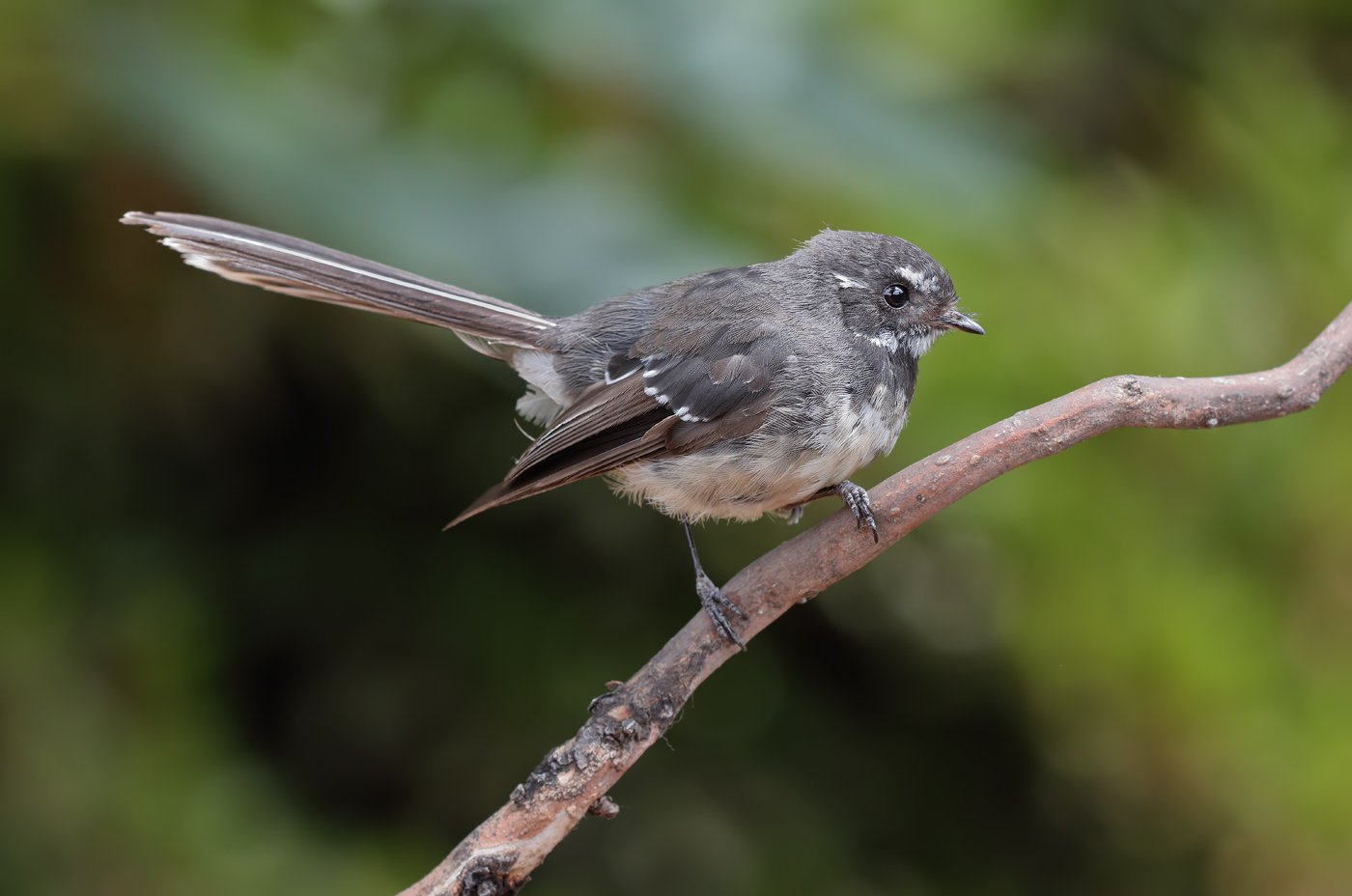 Grey Fantail (Image ID 29397)
