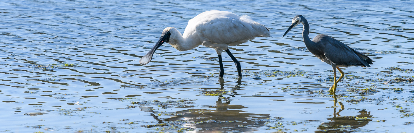 Royal Spoonbill, White-faced Heron