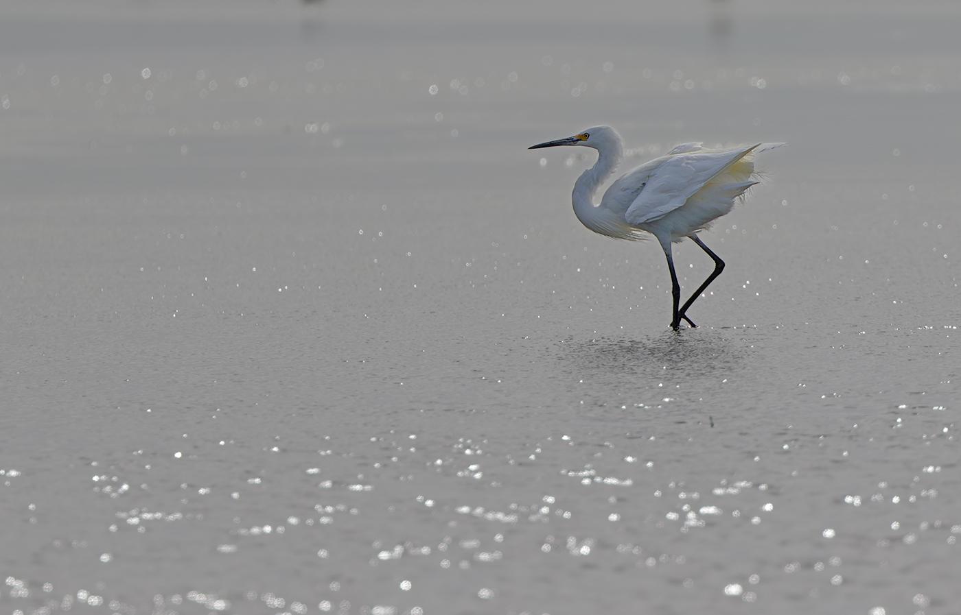 Little Egret (Image ID 29968)