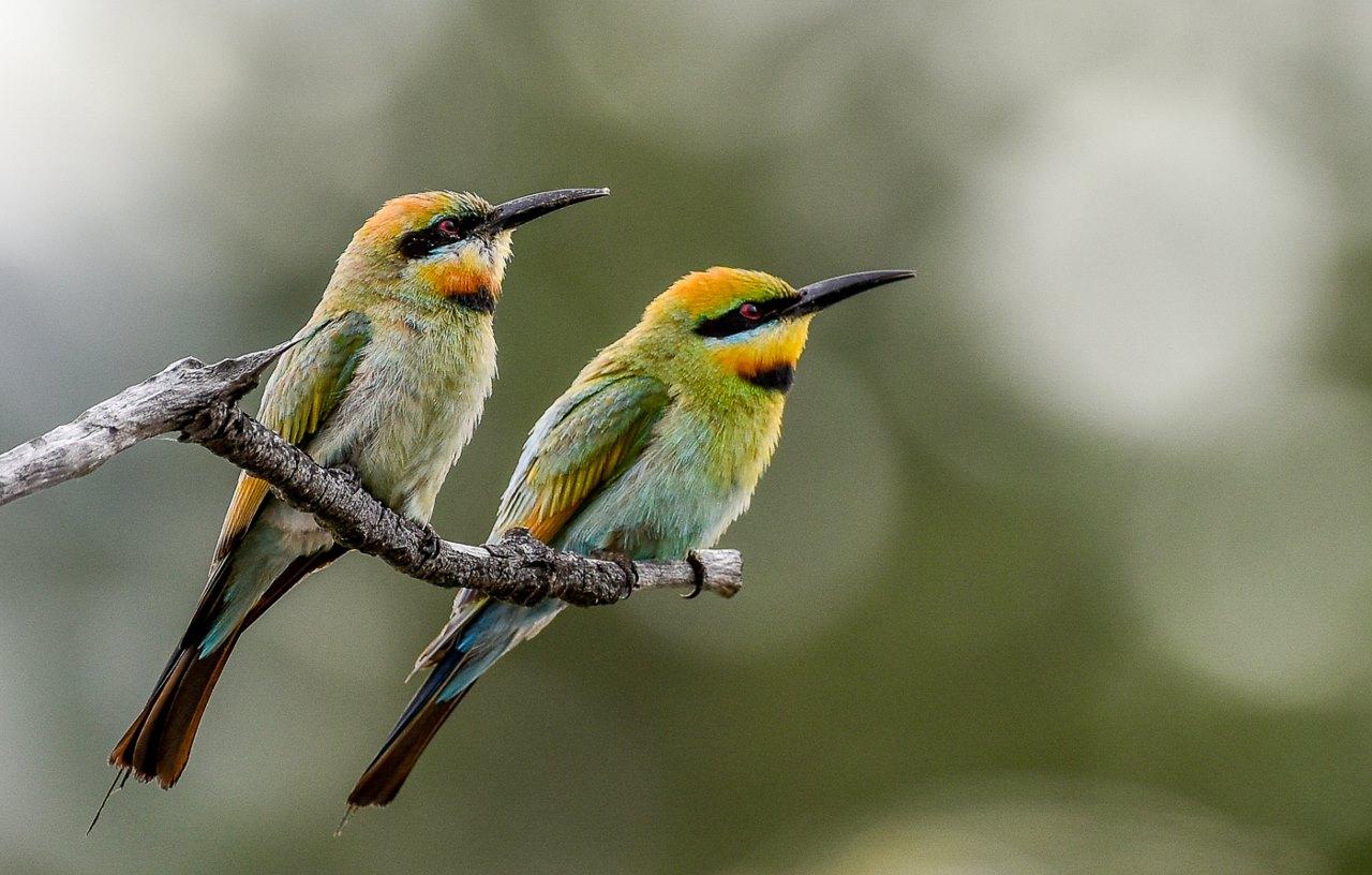 Rainbow Bee-eater (Image ID 30014)