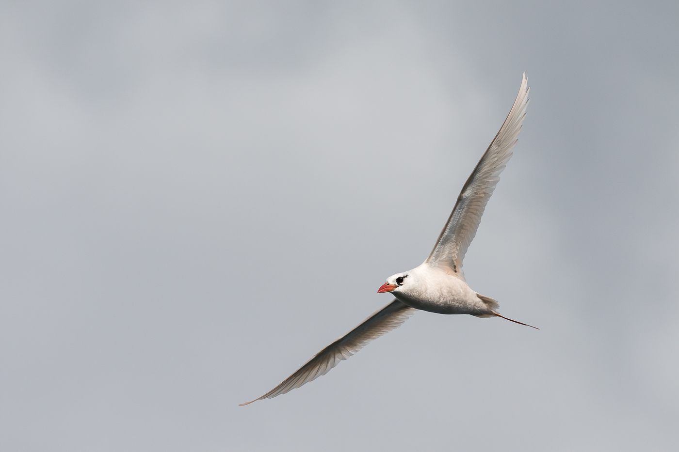 Red-tailed Tropicbird (Image ID 29935)