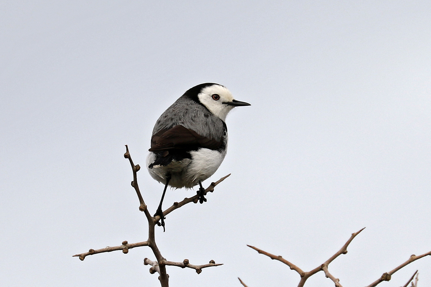 White-fronted Chat (Image ID 29822)