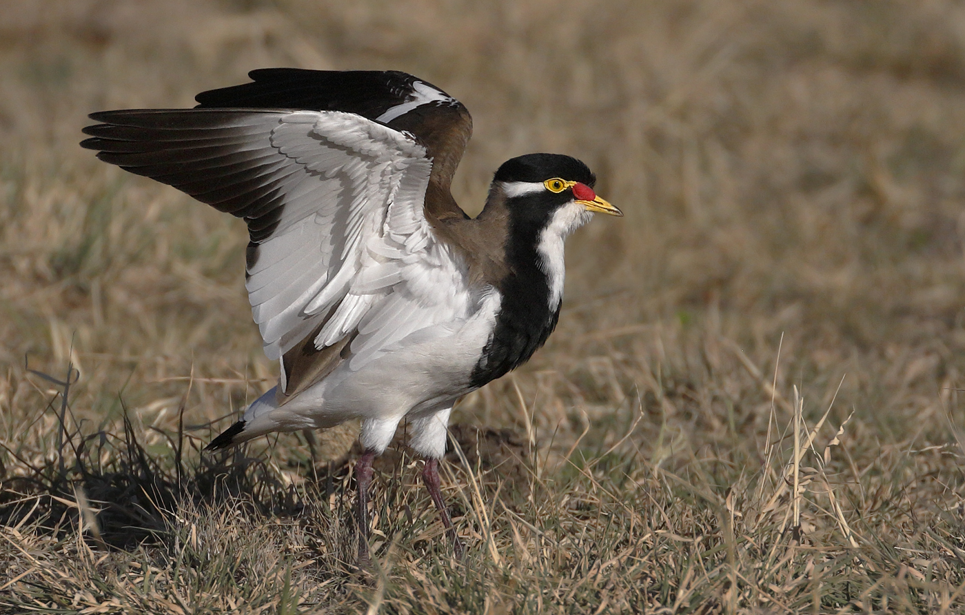 Banded Lapwing (Image ID 29851)