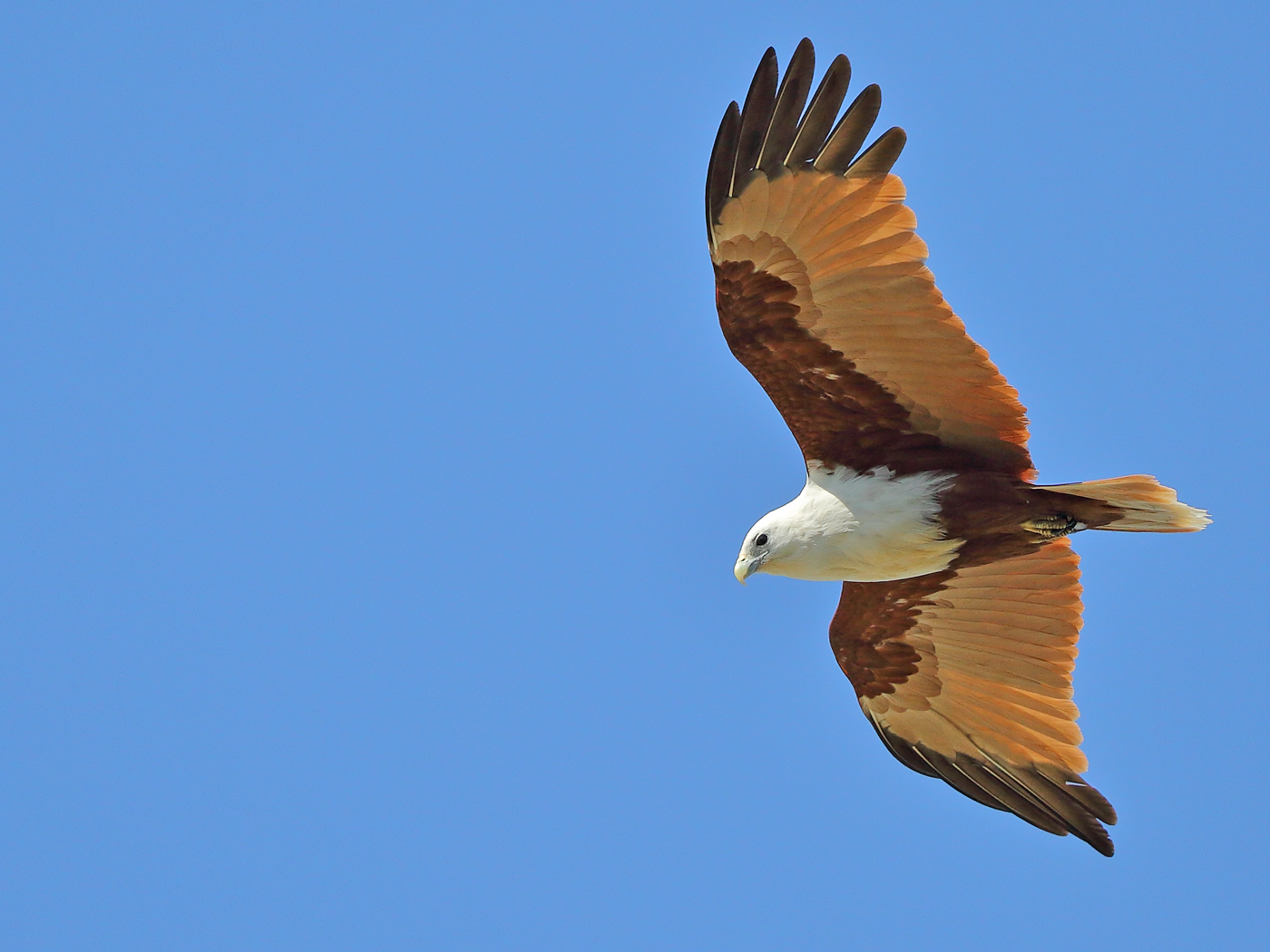 Brahminy Kite (Image ID 29973)