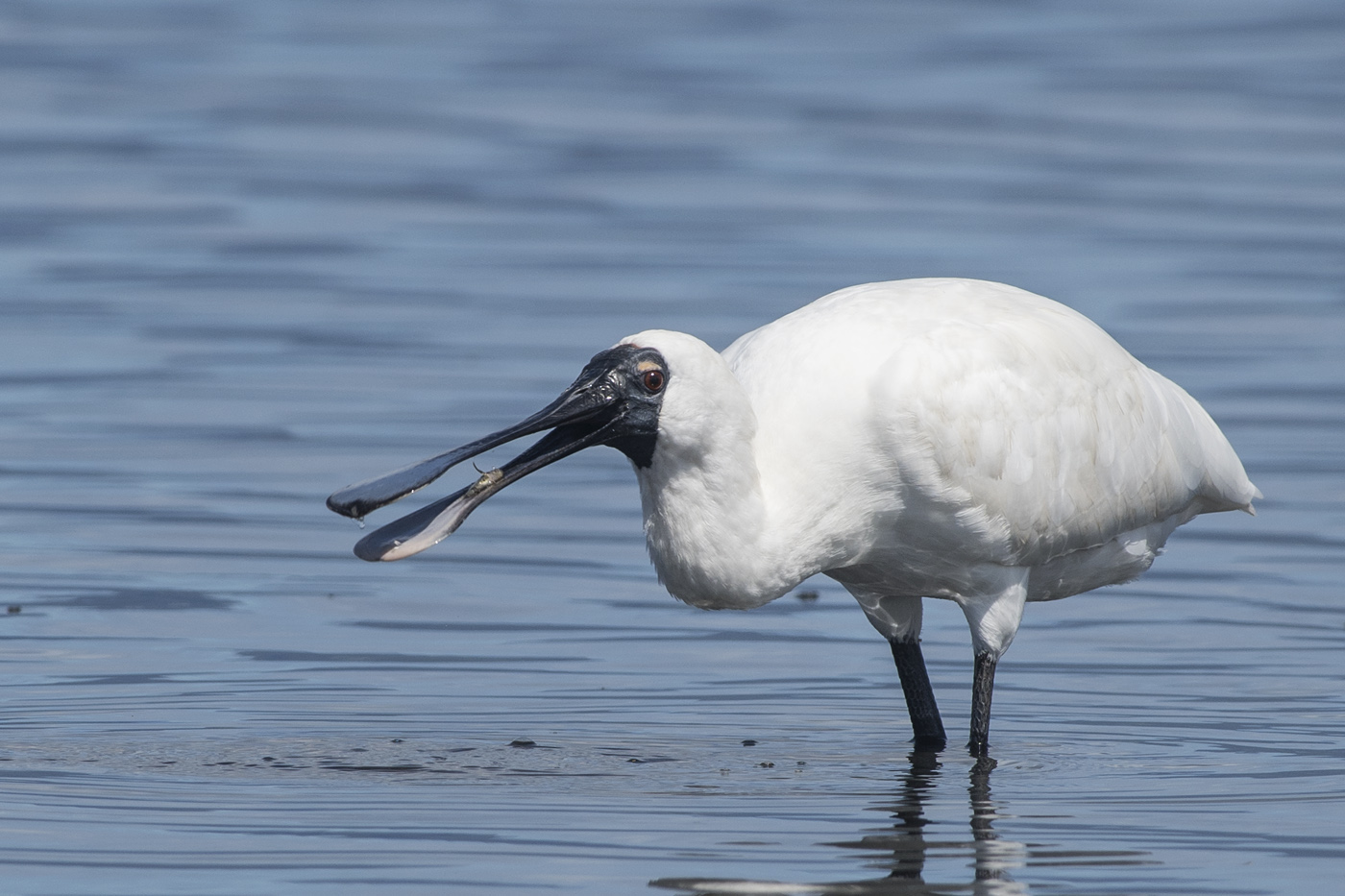 Royal Spoonbill (Image ID 29858)