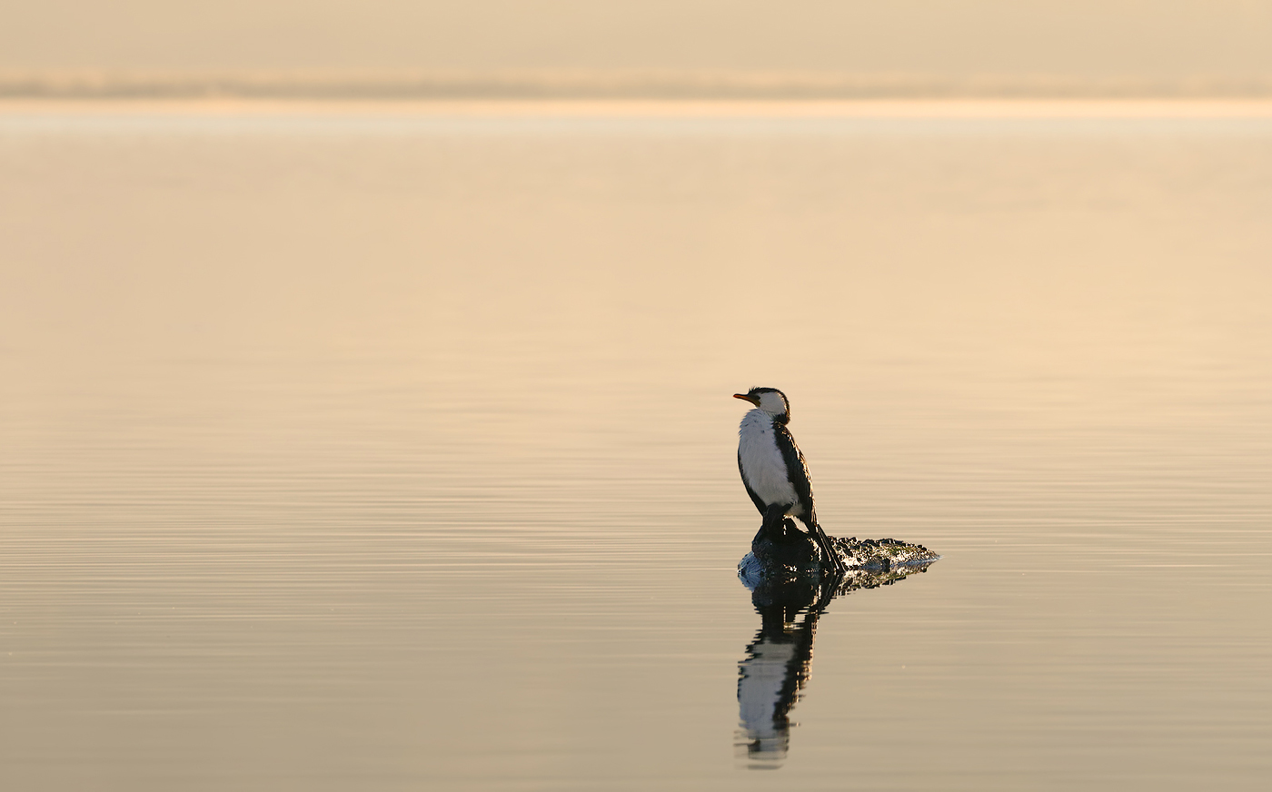 Little Pied Cormorant (Image ID 29936)