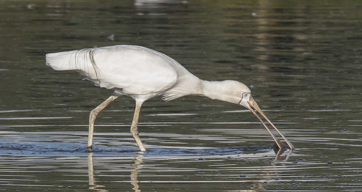 Yellow-billed Spoonbill (Image ID 30015)