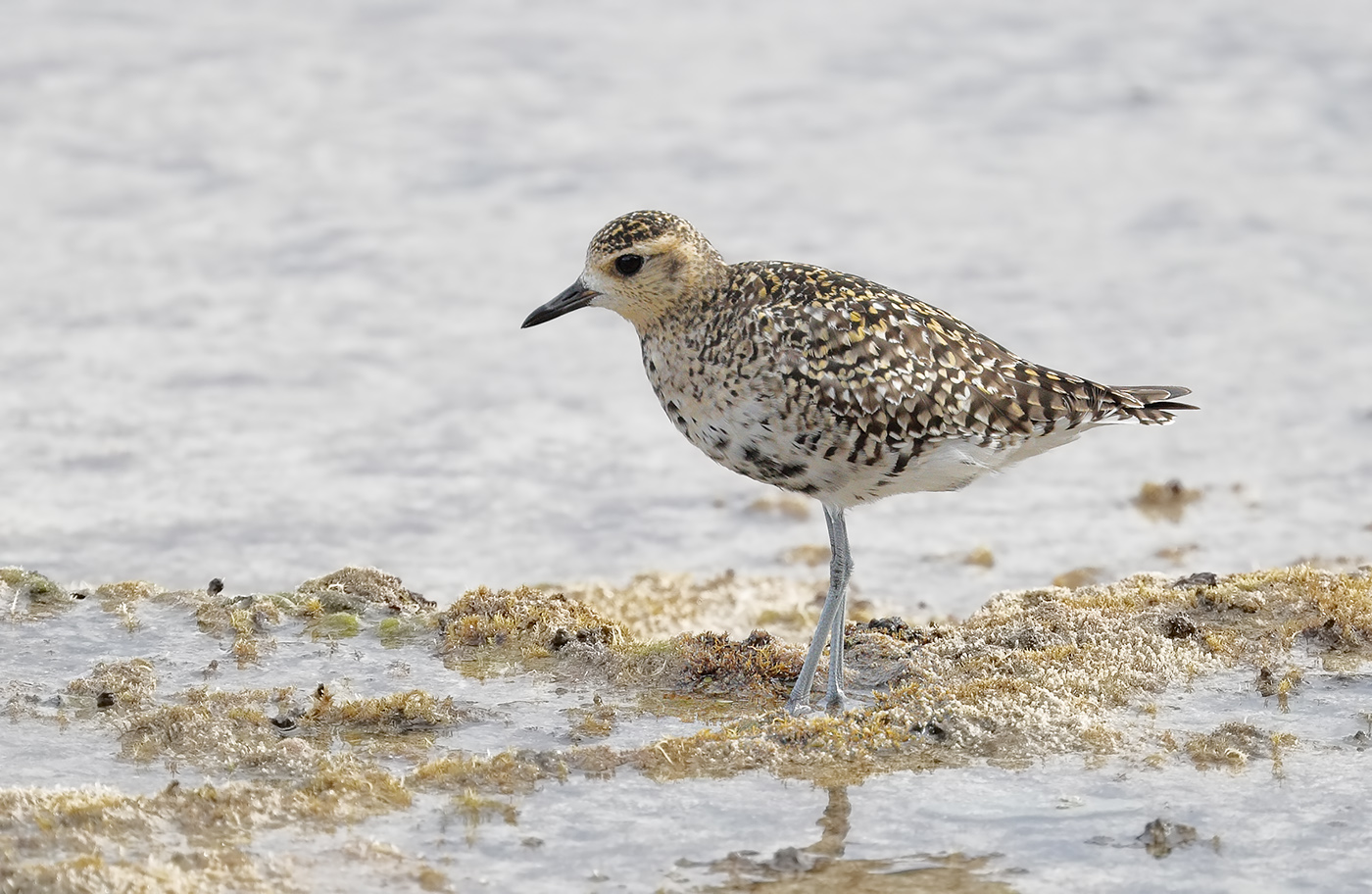 Pacific Golden Plover (Image ID 29880)