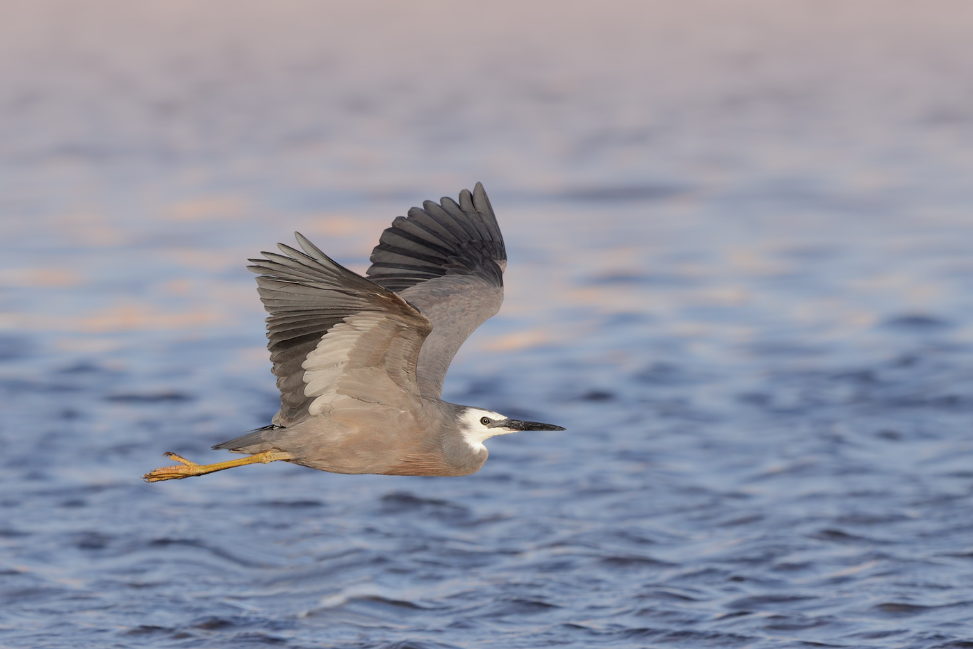 White-faced Heron (Image ID 29974)