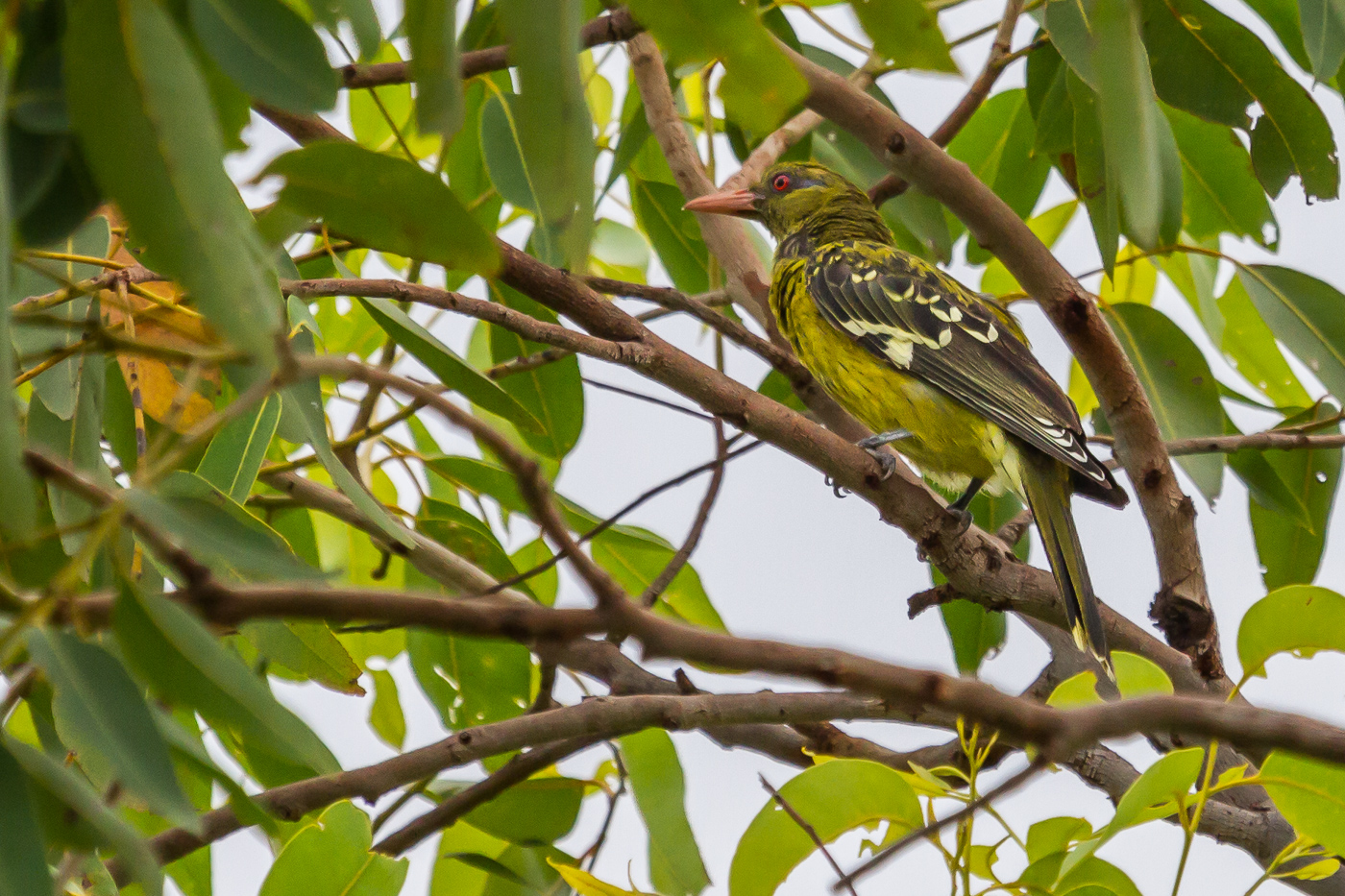 Green Oriole (Image ID 29799)