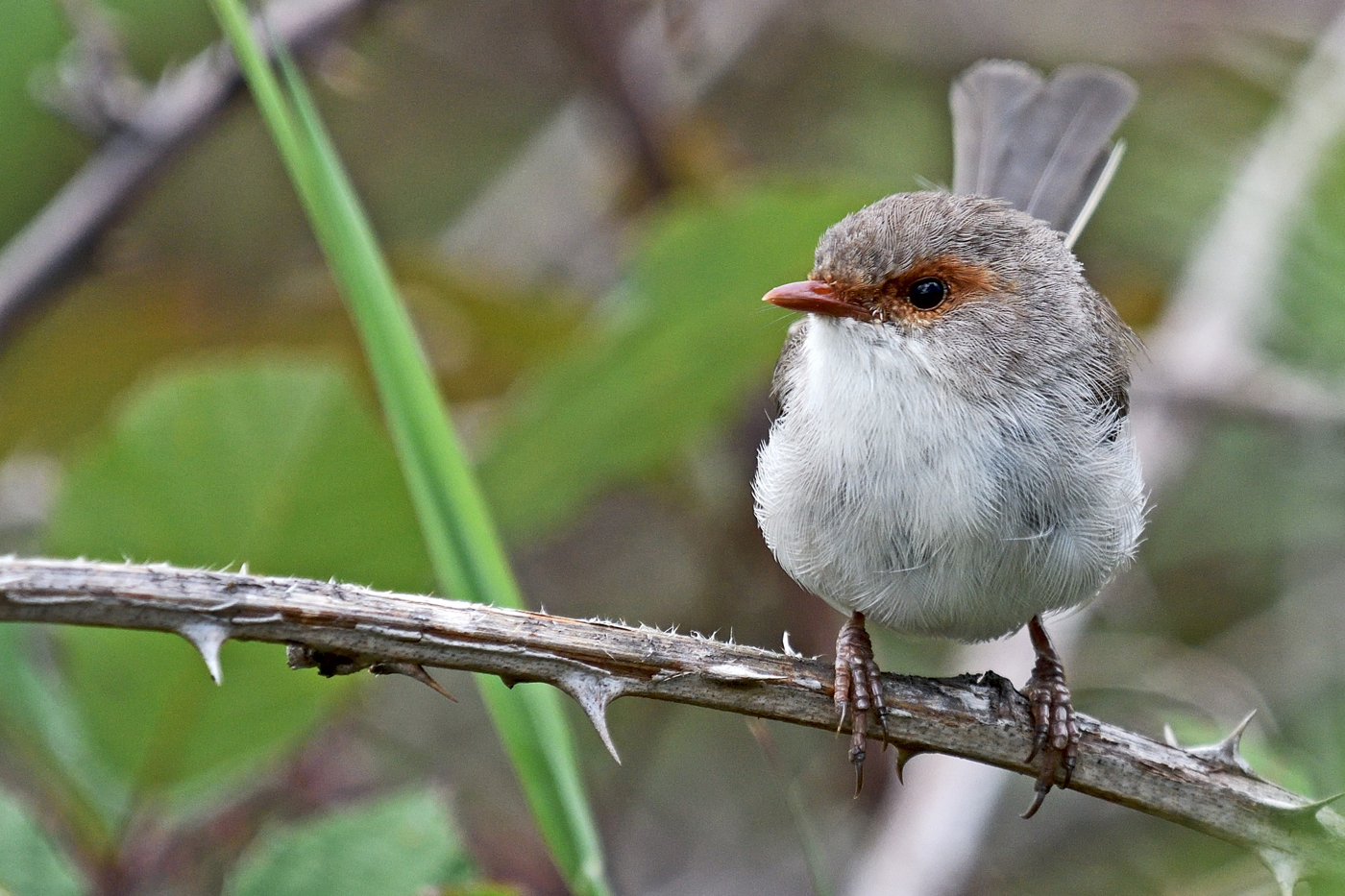 Superb Fairy-wren (Image ID 29837)