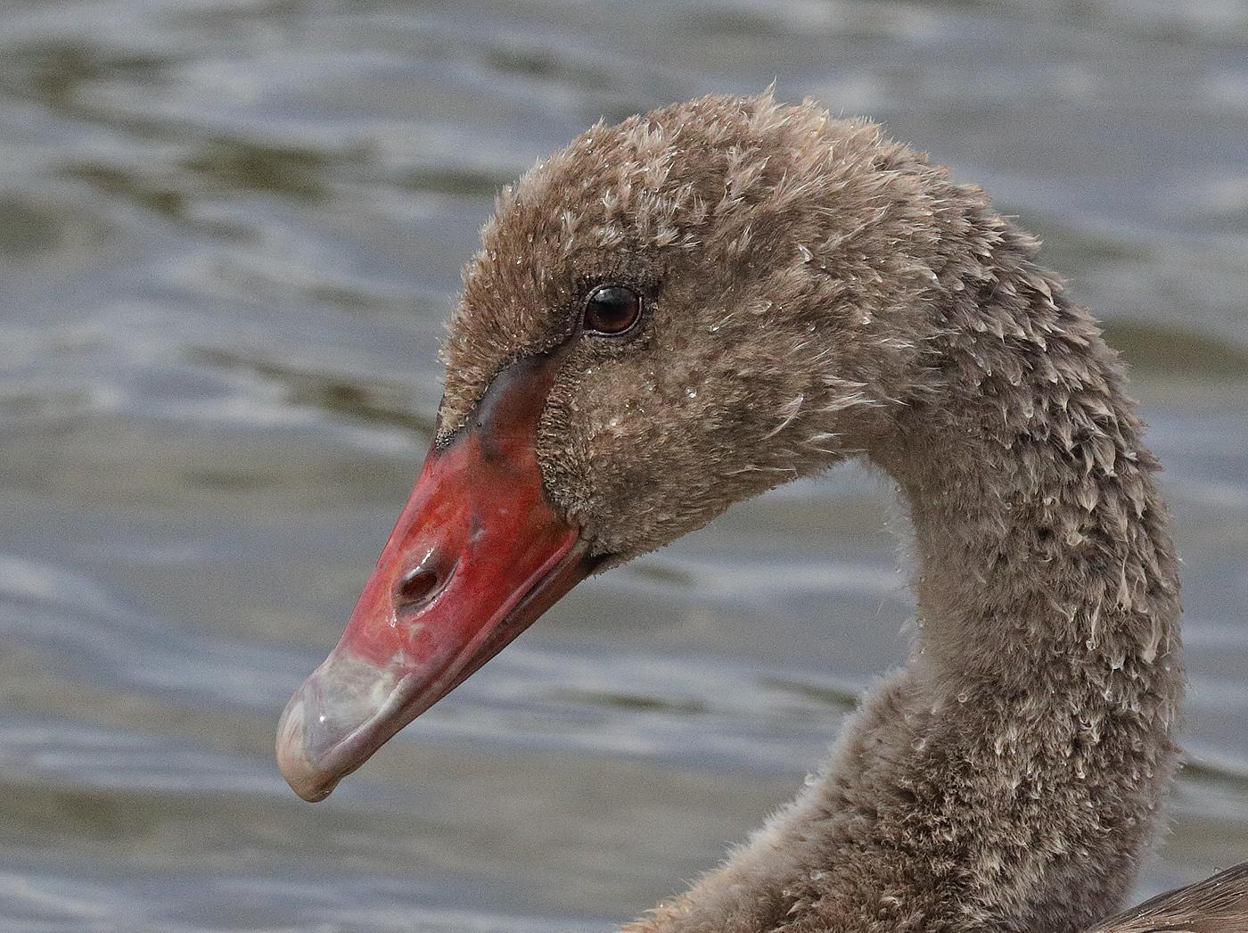 Black Swan (Image ID 29848)