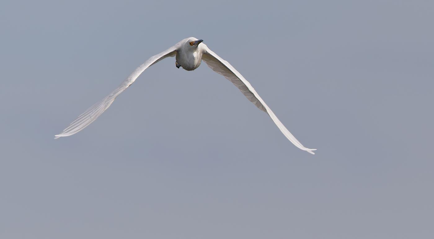 Little Egret (Image ID 29967)