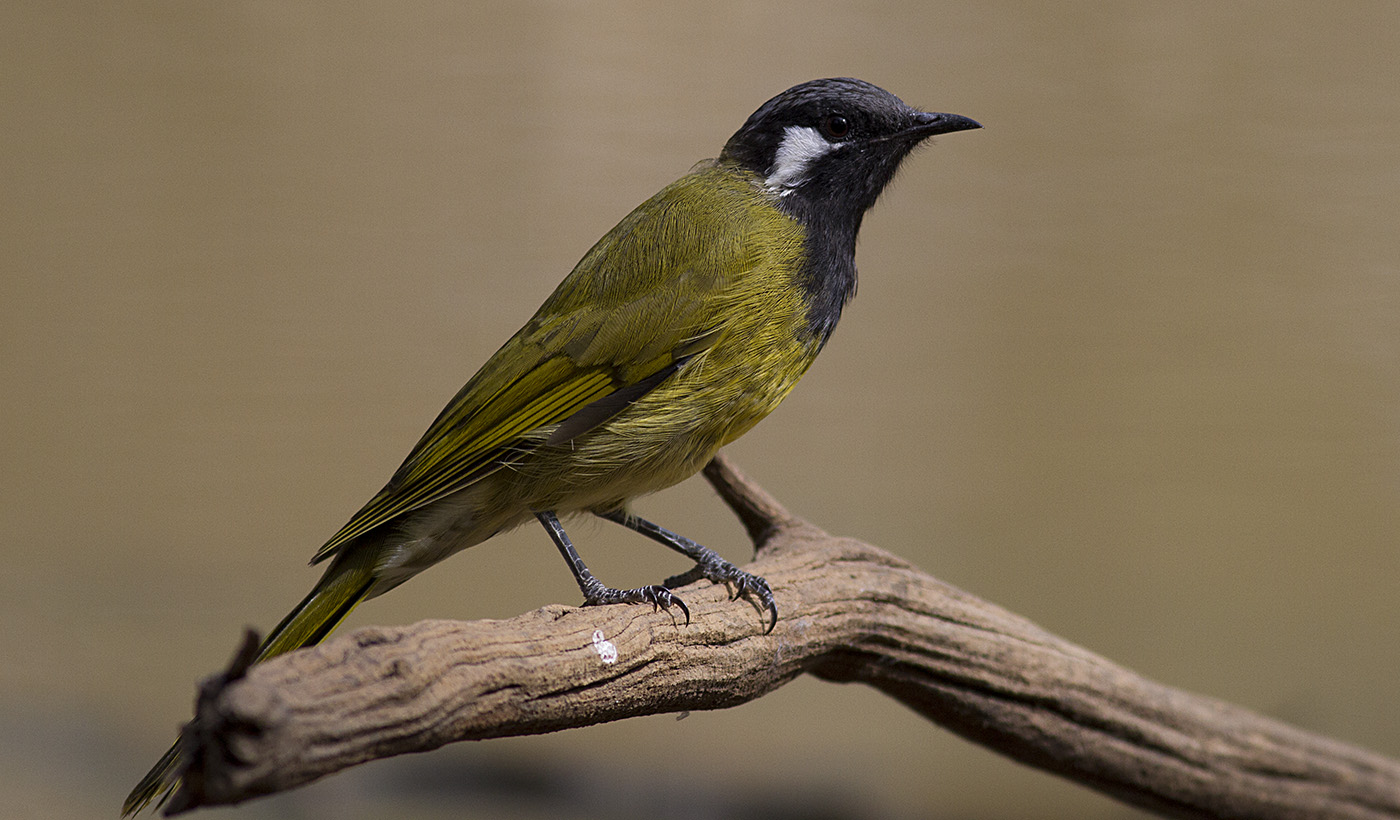 White-eared Honeyeater (Image ID 29900)