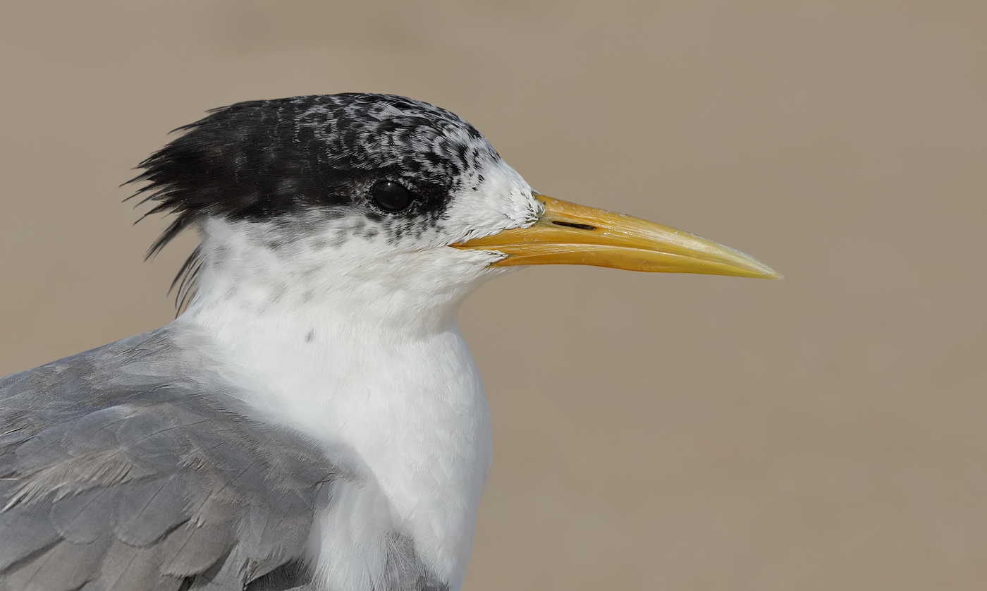 Crested Tern (Image ID 29919)