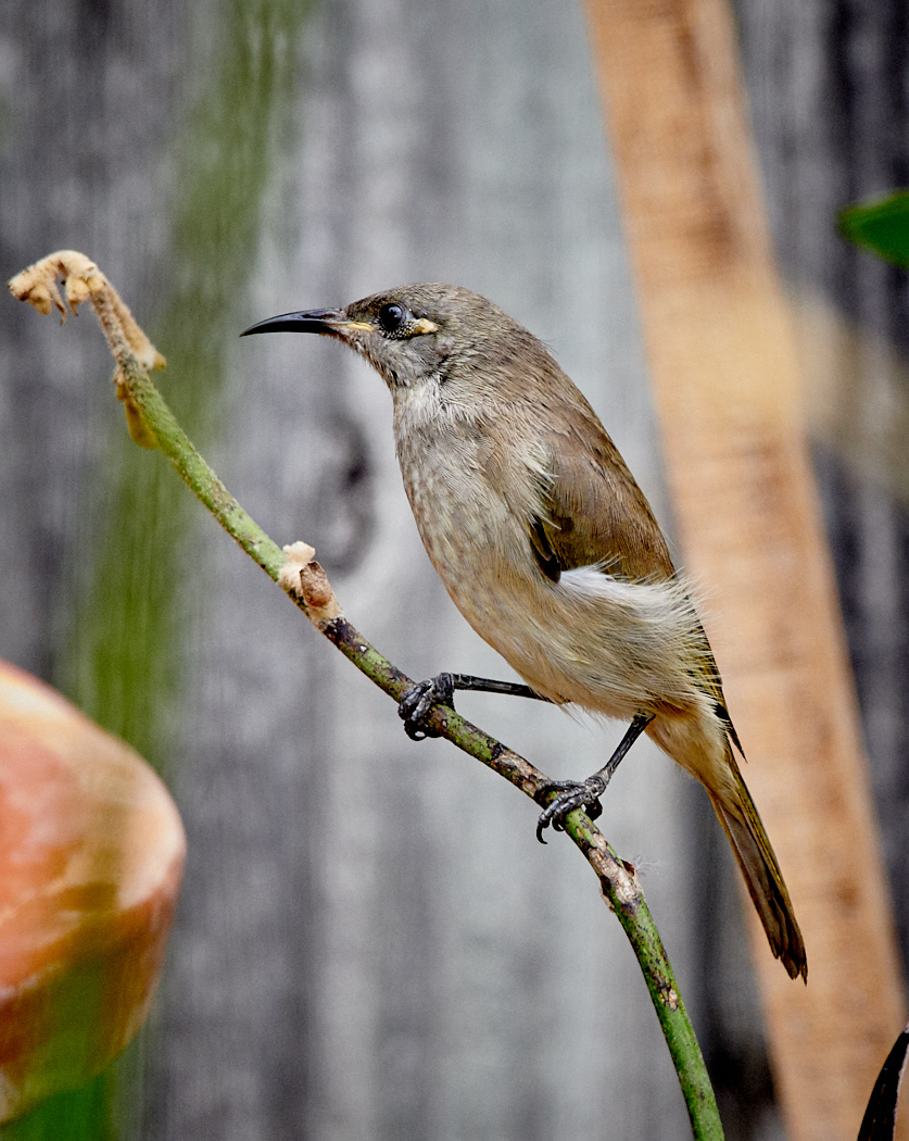 Brown Honeyeater (Image ID 29918)