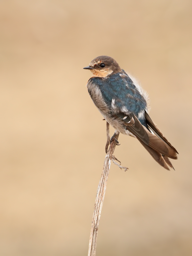 Welcome Swallow (Image ID 29788)