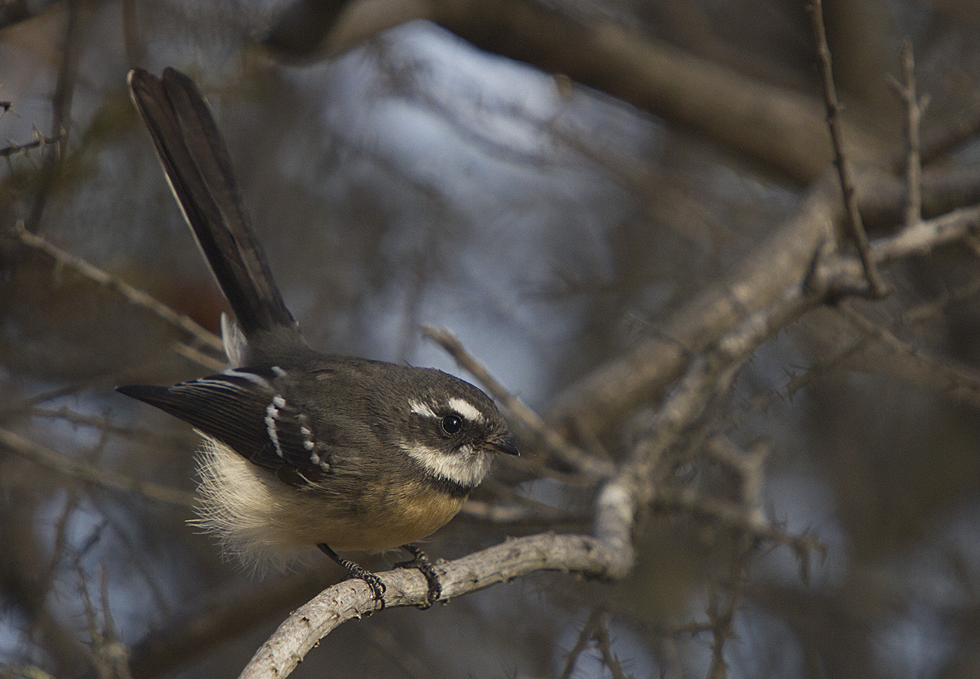 Grey Fantail (Image ID 29883)
