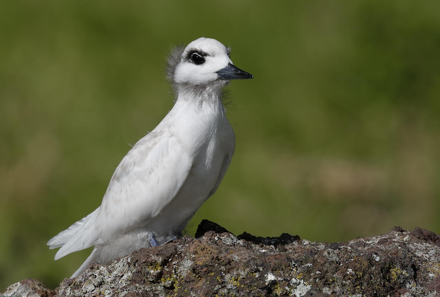 White Tern (Image ID 29877)