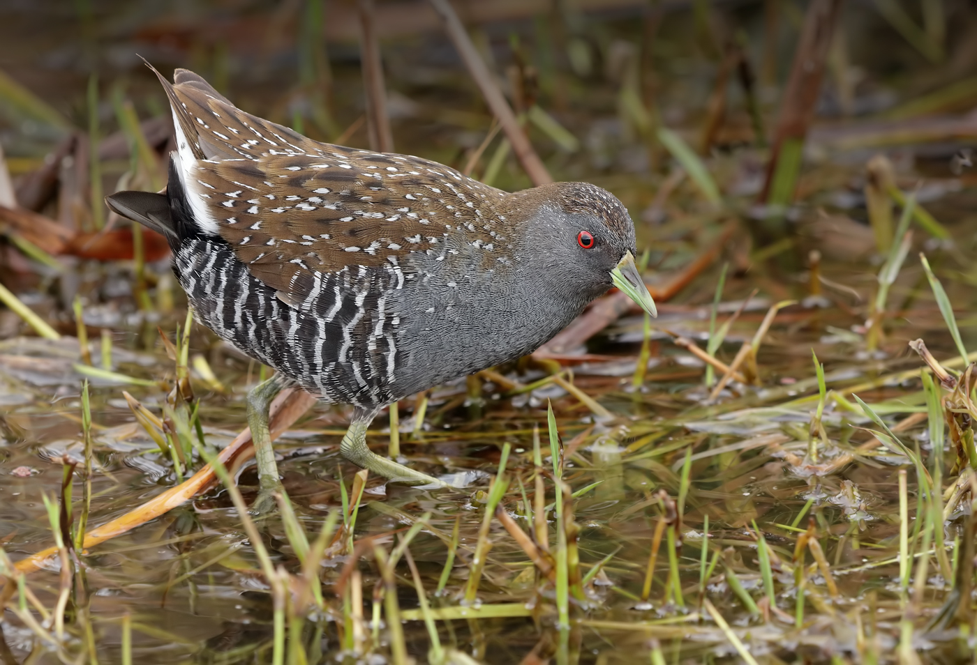 Australian Spotted Crake (Image ID 29991)