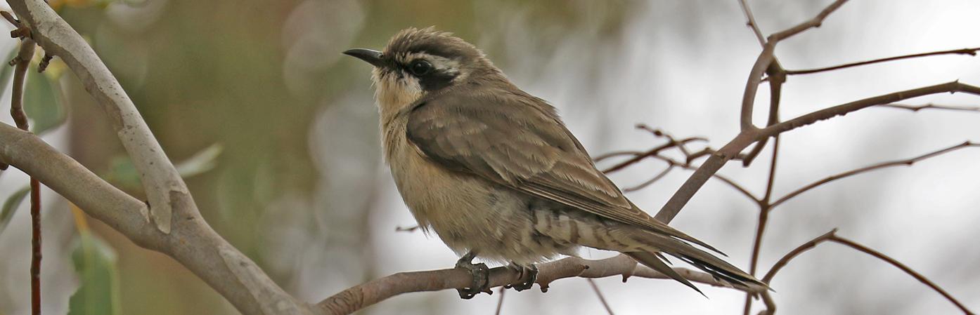 Black-eared Cuckoo (Image ID 29819)