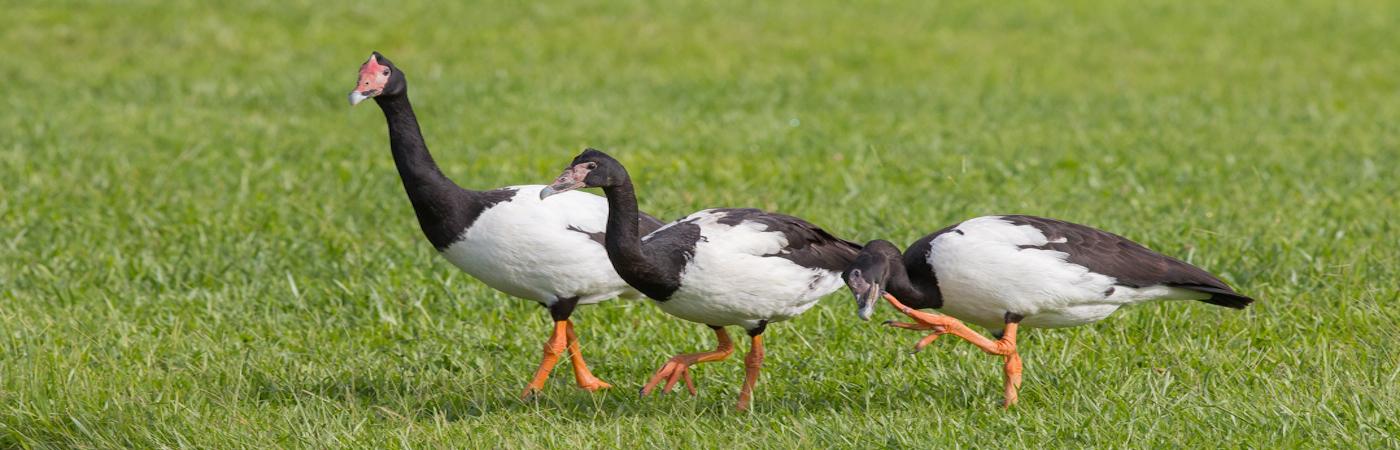 Magpie Goose (Image ID 29947)