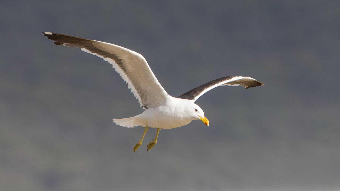 Kelp Gull (Image ID 29971)