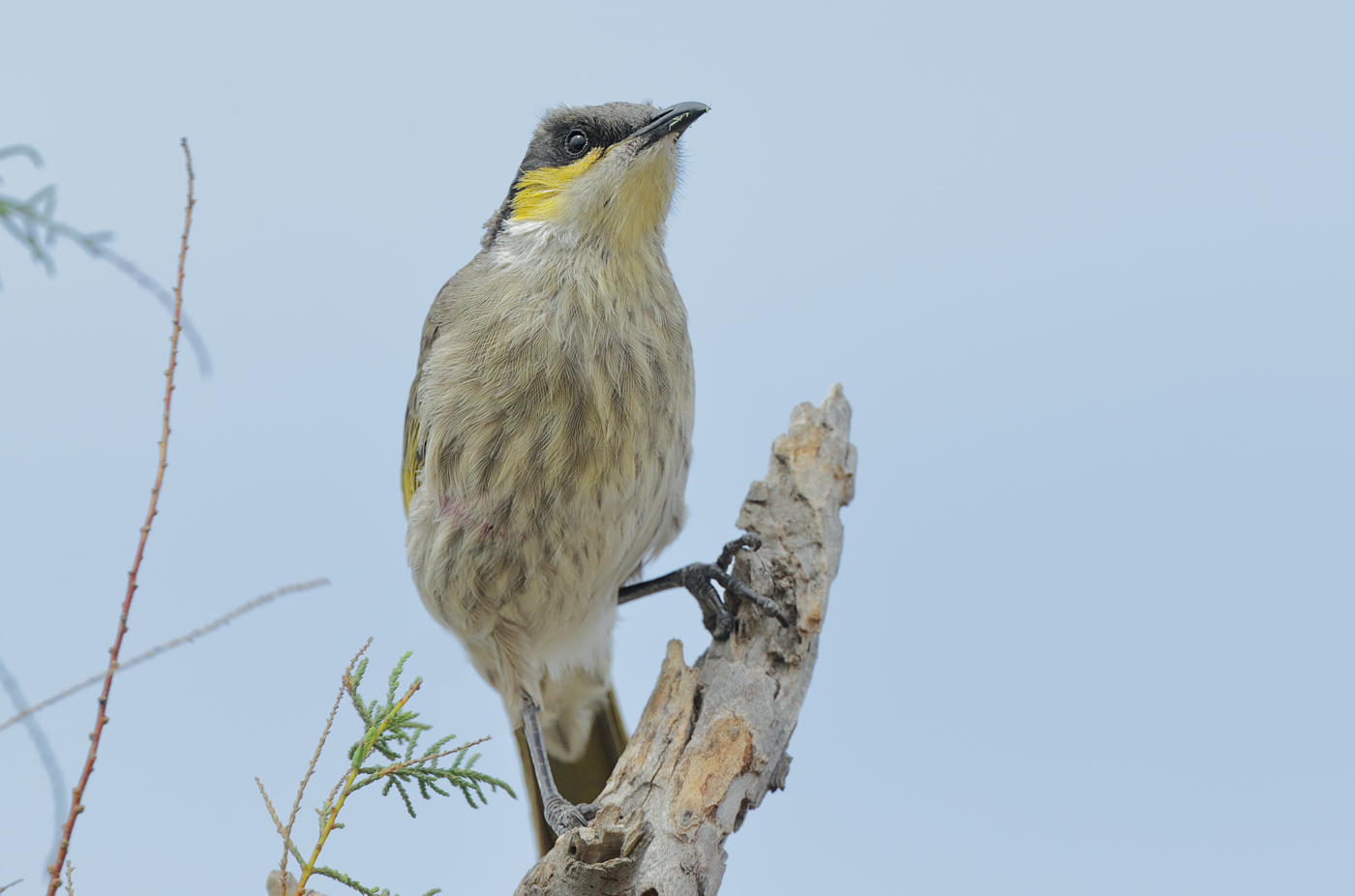 Singing Honeyeater (Image ID 29969)