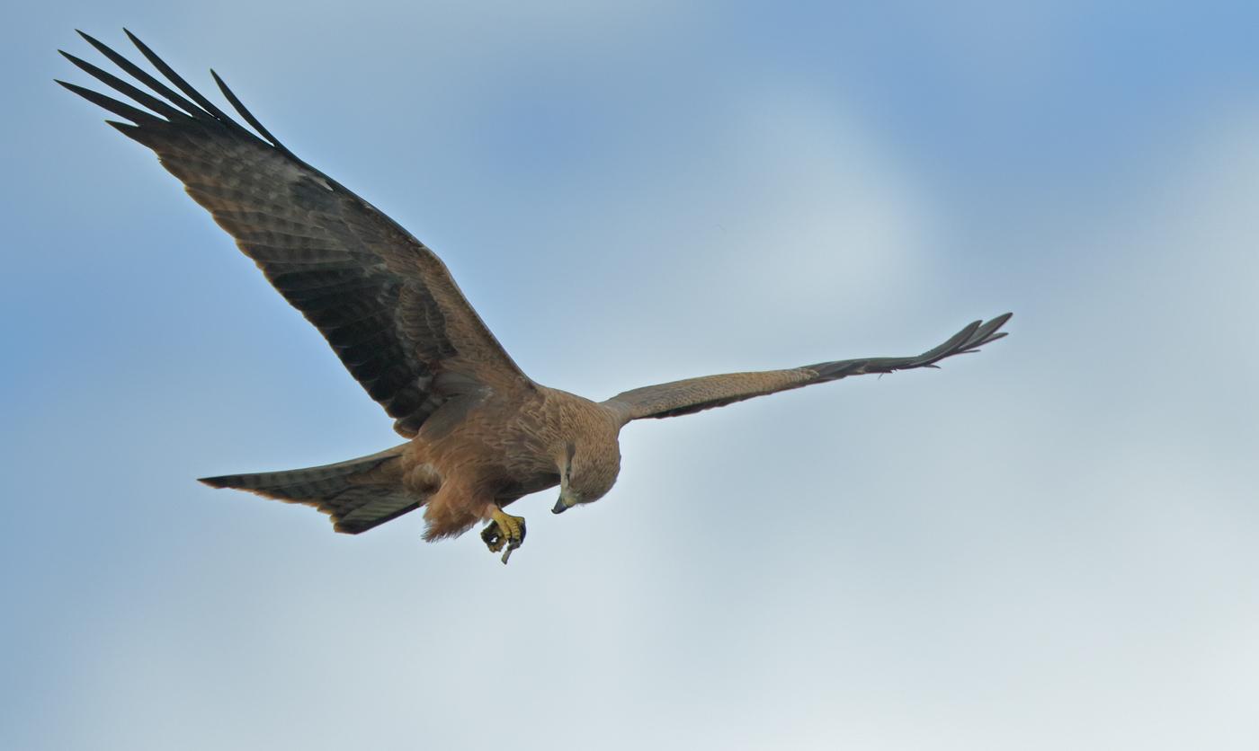 Black Kite (Image ID 30047)