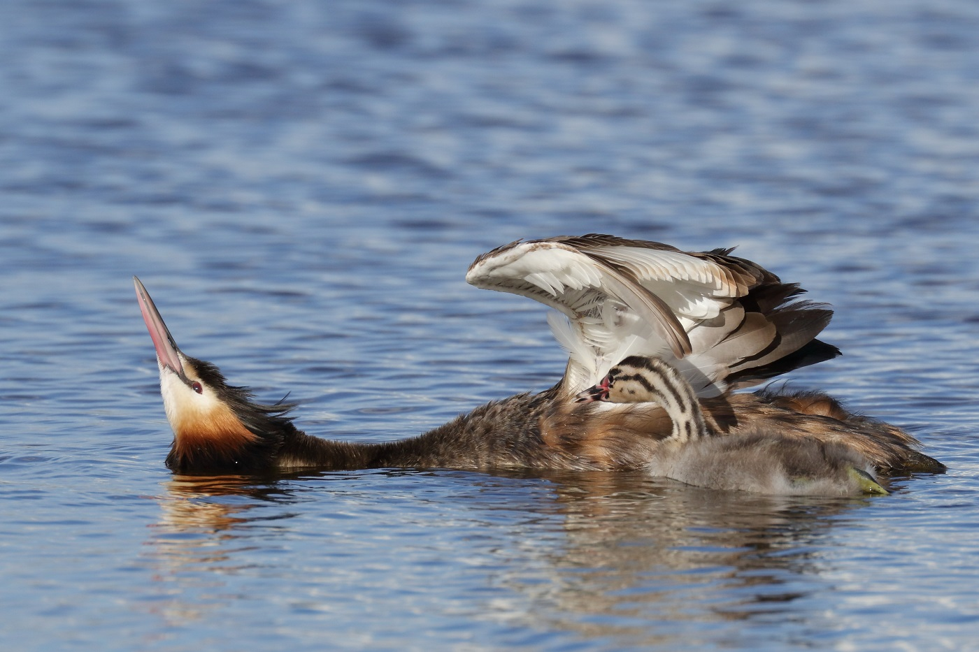 Great Crested Grebe (Image ID 29885)
