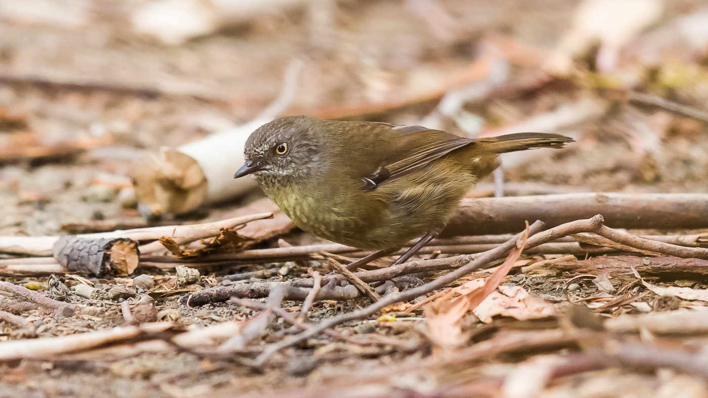 Tasmanian Scrubwren (Image ID 29983)