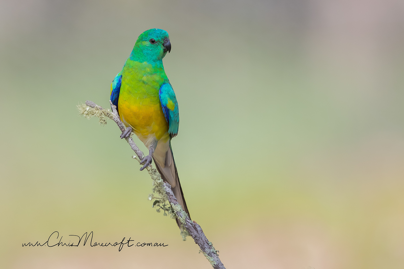 Red-rumped Parrot (Image ID 30005)