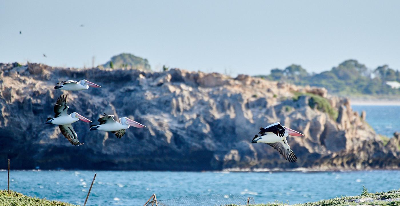 Australian Pelican (Image ID 29865)