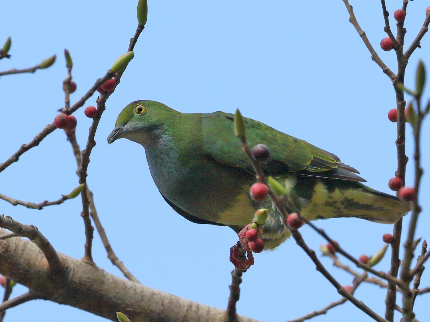 Superb Fruit-Dove (Image ID 29889)