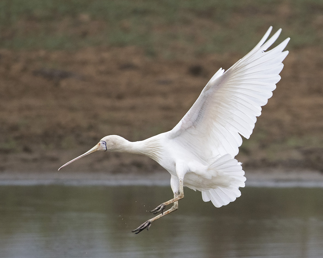 Yellow-billed Spoonbill (Image ID 29916)