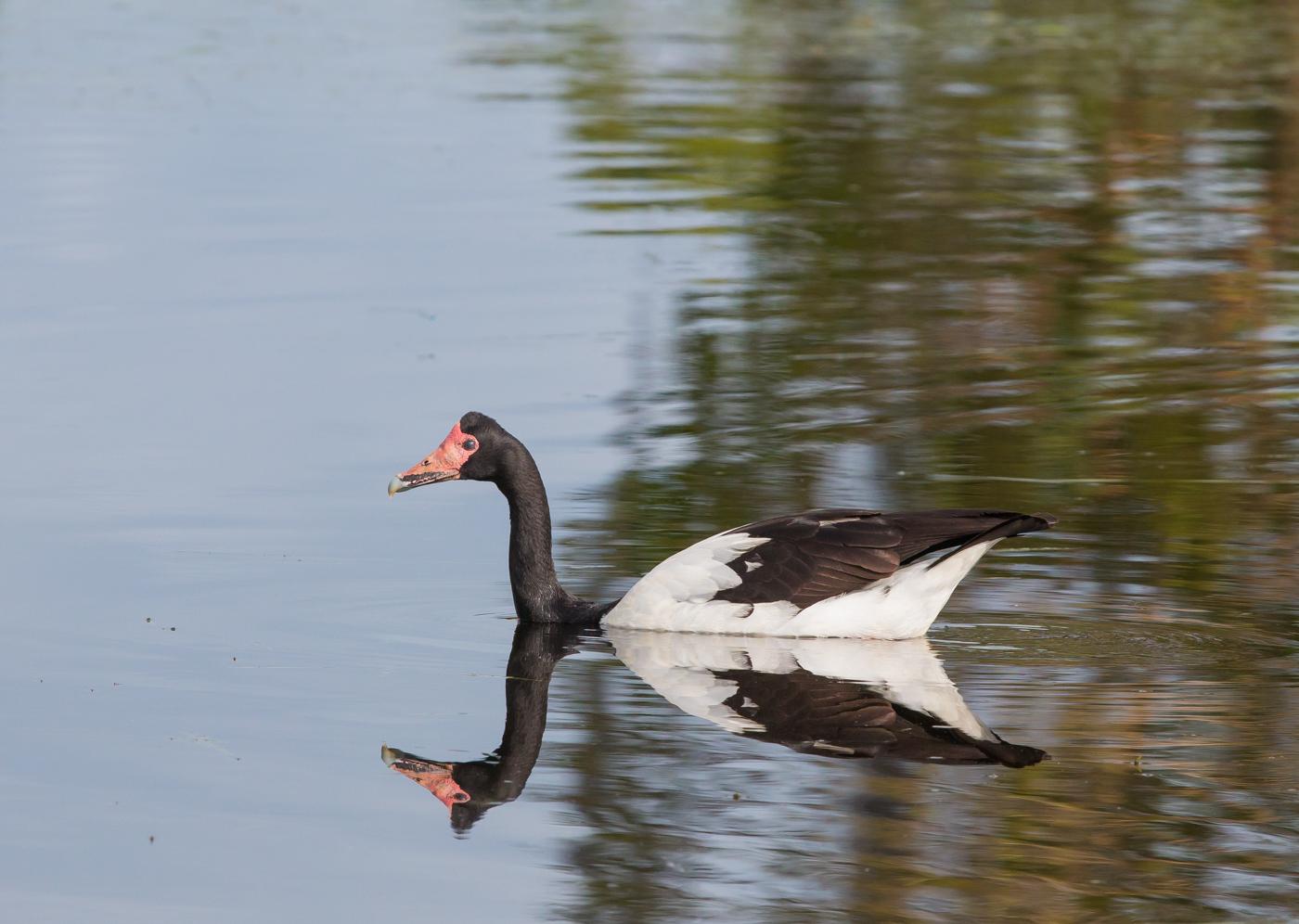 Magpie Goose (Image ID 29946)